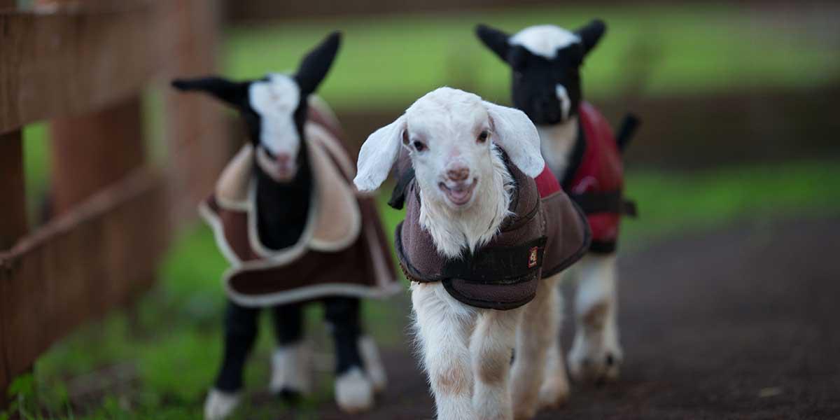 Yeni Zelanda, Hayvanların İnsanlar Gibi Duygusal Varlıklar Olduğunu Yasalaştırdı