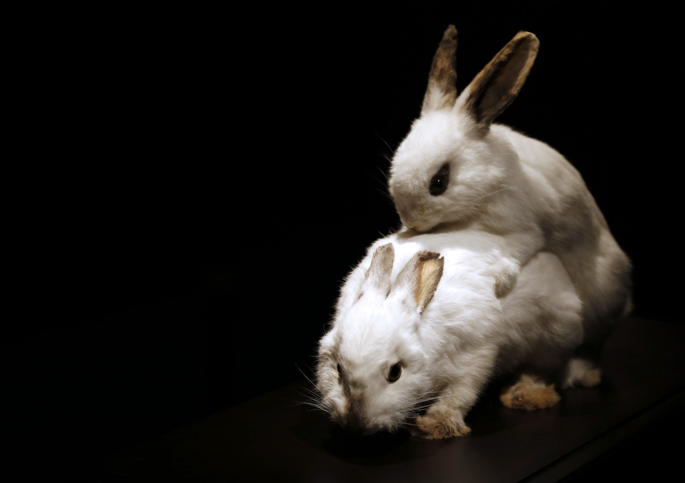 """TO GO WITH AFP STORY BY VERONIQUE MARTINACHE Stuffed rabbits copulating are on display at the Palais de la Decouverte (scientific museum) in Paris on October 23, 2012 as part of the exhibition """"Betes de sexe"""" (Sexual beasts) dedicated to the sexual life of animals. The event runs from October 23 to August 25, 2013. AFP PHOTO FRANCOIS GUILLOT (Photo credit should read FRANCOIS GUILLOT/AFP/Getty Images)"""