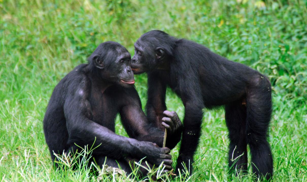 Lezbiyen Maymunların 'Statü' Arayışı