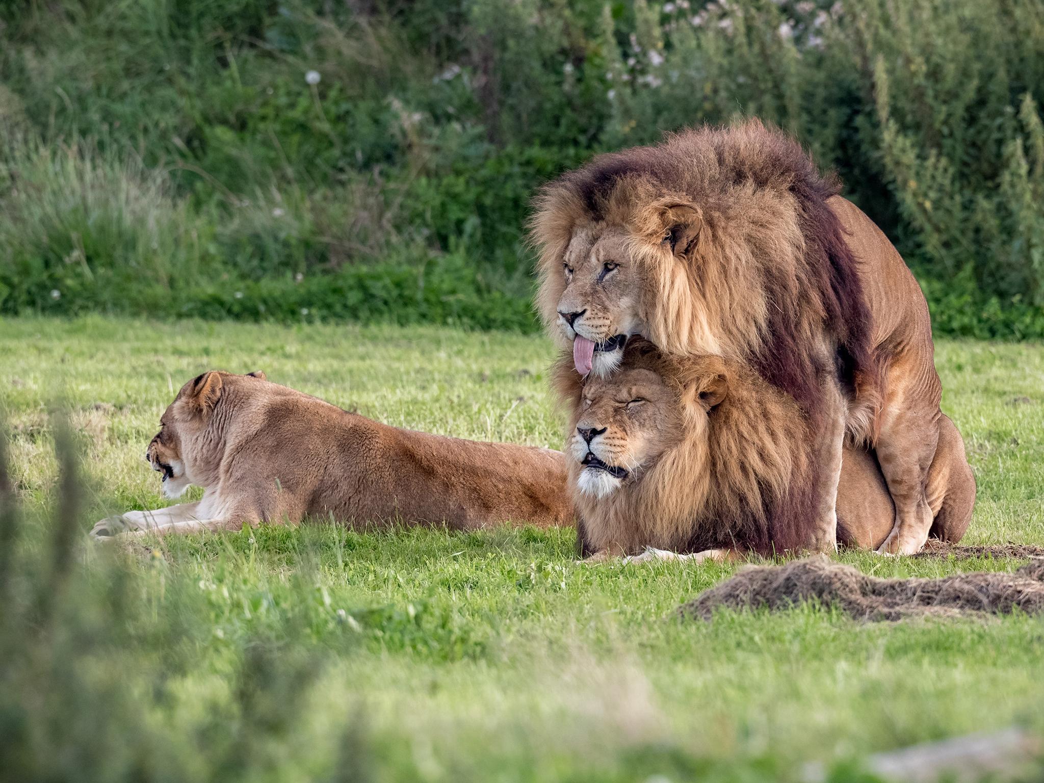 Eşcinsel Aslanlar İzleyenleri Şaşırttı!