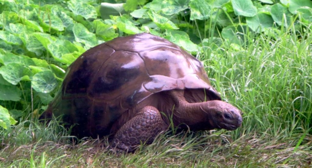 186 Yaşındaki Eşcinsel Kaplumbağa!