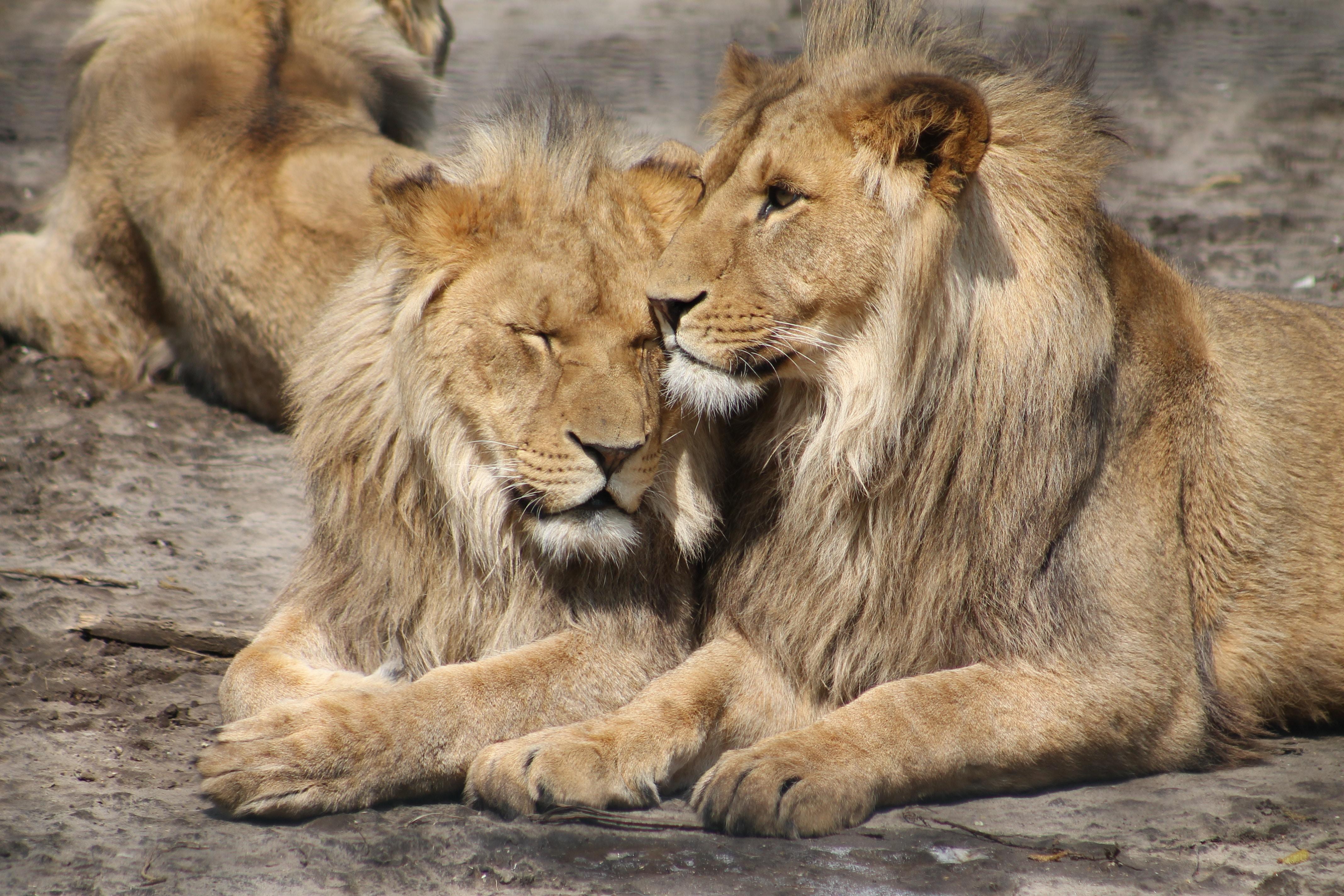 Eşcinsel Bir Gezegenden Korkmak: Aslanlar Gerçekten Eşcinsel Mi?