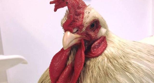 Trans Tavuk, Biyolojik Olarak Horoza Dönüştürüldü!