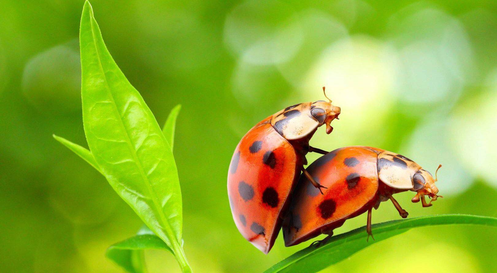 Erkek Böcekler; Eşcinsel Oldukları İçin Değil, Beceriksiz Oldukları İçin Eşcinsel İlişkiye Giriyor!