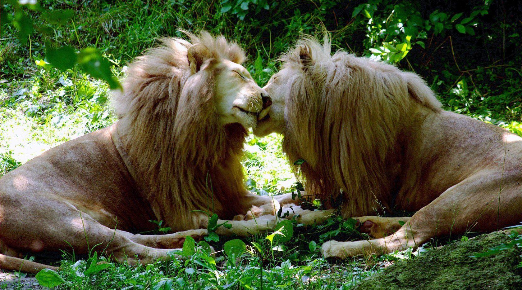 Amsterdam Hayvanat Bahçesi Onur'u, Hayvanlar Alemindeki Eşcinsellik Turu İle Kutluyor!