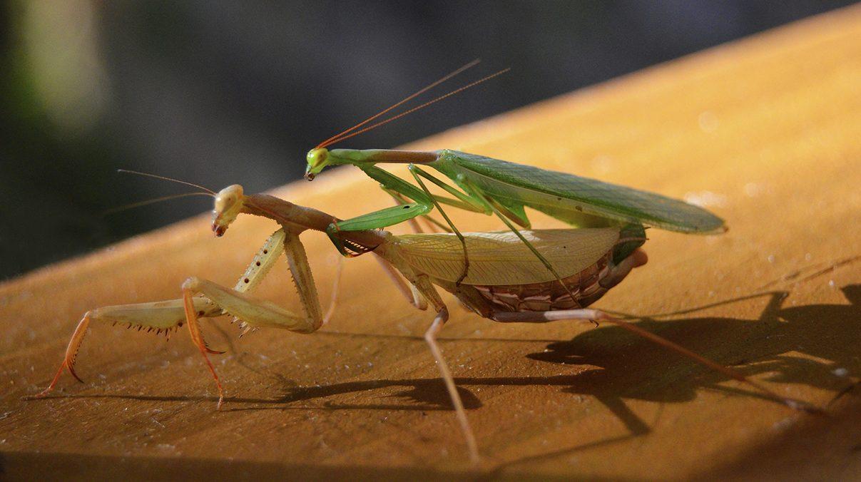 Erkek Böcekler Diğer Erkek Böceklerle Gay Oldukları İçin Çiftleşmiyor