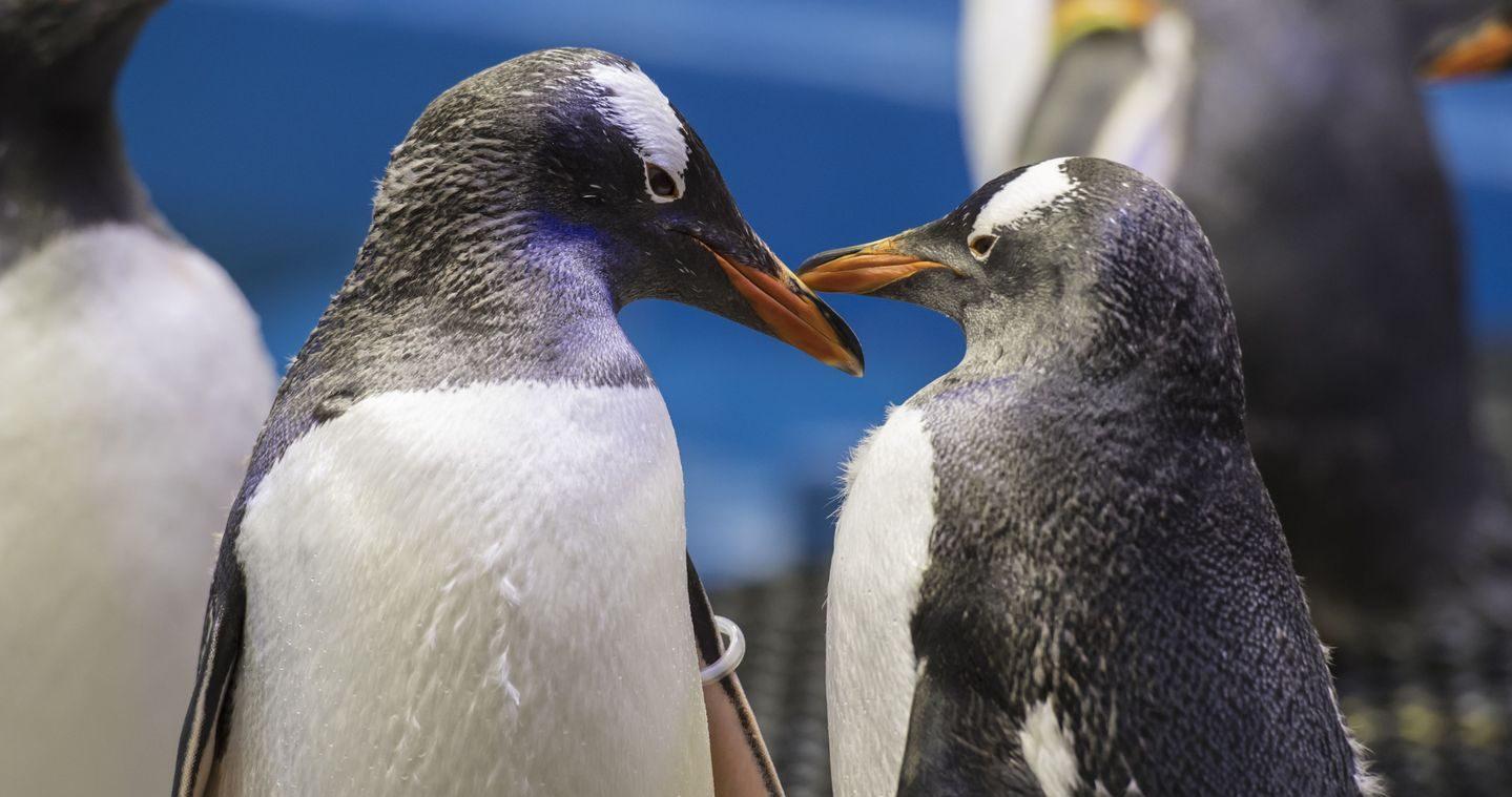 Dünyanın En Popüler Eşcinsel Penguen Çifti 'Sphenic' İle Tanışın