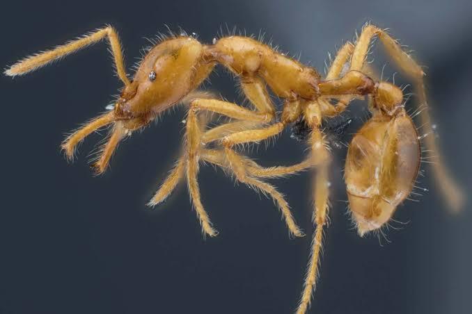 Yeni Keşfedilen Karınca Türüne 'Non-Binary' İsmi Verildi